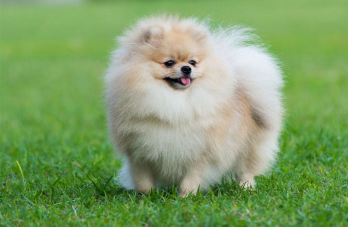 Pomeranian Köpek