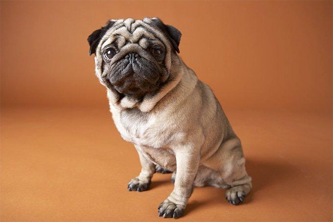 Pug köpek